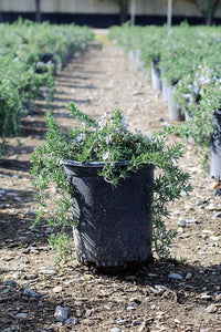 "Creeping Rosemary - Rosmarinus officinalis ""Prostratus"" - 1 gallon"