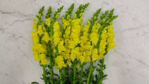 Snapdragon - Yellow  - Bunch