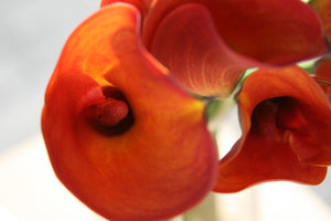 Calla Lilies - Mini - Orange