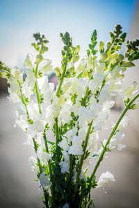Snapdragon - White  - Bunch