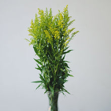 Fillers - Solidago  - Bunch