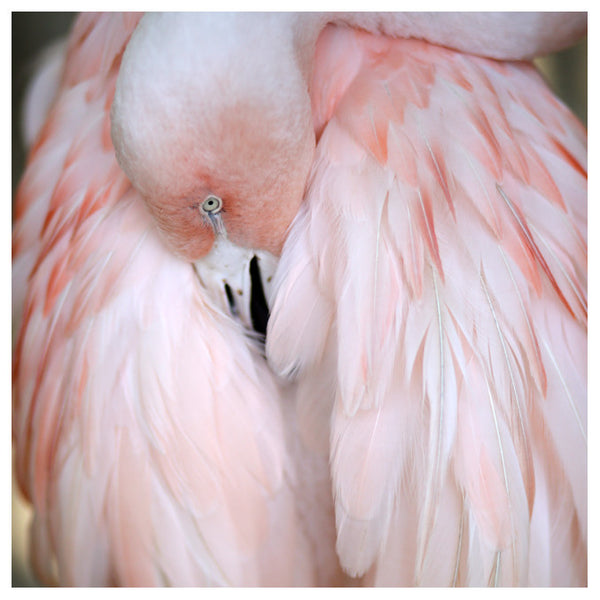 Flamingo #2 - Fine Art Photograph