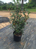 Red Tip Shrub - Michaels Nursery