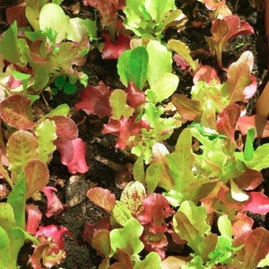 Lettuce Mix -Red & Green
