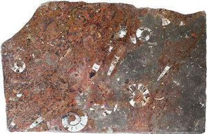 Polished Ammonite & Orthoceras Red Macro Fossil Table Top #1M