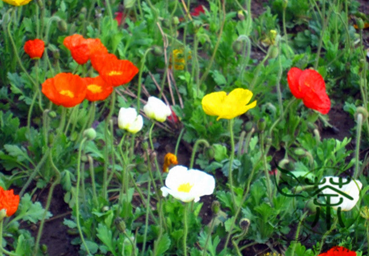 Papaver Rhoeas, Common Poppy Seed, Corn Poppy Yu Meiren