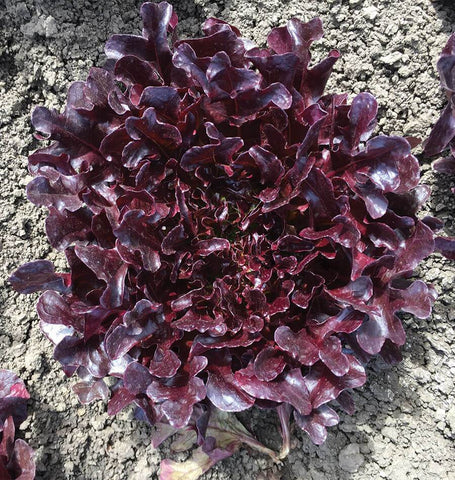 Buckley Organic Lettuce Seeds