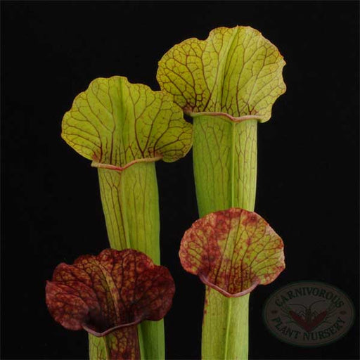 Sarracenia x Frog Mouth