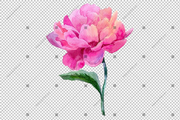 Pink Peony Camellia Watercolor Flower Png Flower