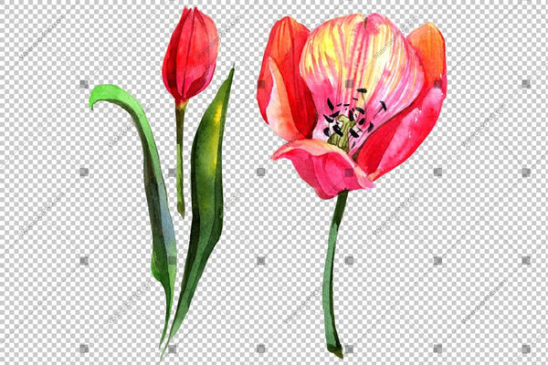 Pink Tulip Watercolor Flowers Png Flower