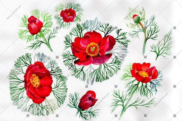 Red Peony Herbaceous Watercolor Flower Png Flower