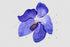 products/vanda-blue-magic-png-watercolor-flower-set-background-botanical-colorful-delicate-digital-watercolorpng_299.jpg