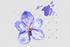 Vanda Blue Magic Png Watercolor Flower Set Digital
