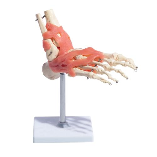 66fit Foot Joint With Ligaments Anatomical Model