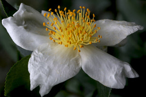 Camellia sasanqua 'Daydream Believer' at Camellia Forest Nursery
