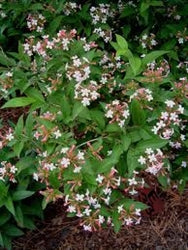 Abelia serrata at Camellia Forest Nursery