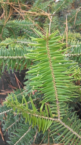Abies firma, Japanese Fir at Camellia Forest Nursery