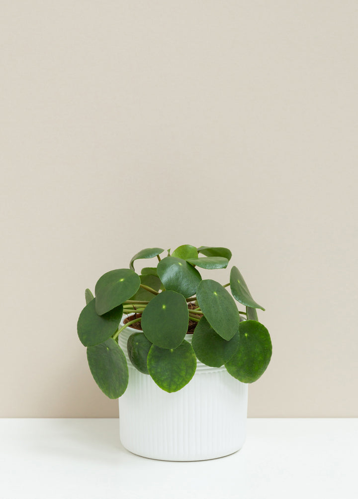 Pilea Peperomiodes 'Chinese Money Plant'