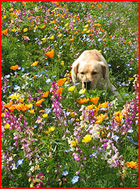 Napa Valley Wildflower Seed Mix