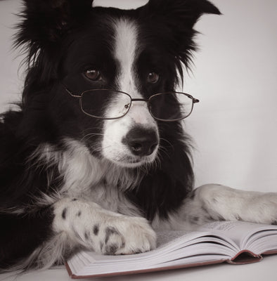 10 Most Intelligent Dog Breeds
