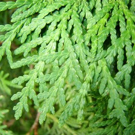 Arborvitae Essential Oil - 5ml