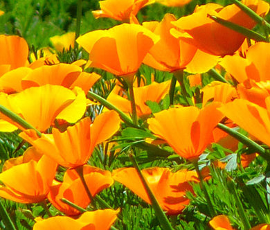 California Poppy Orange Seeds - Eschscholzia Californica