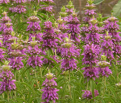 Lemon Mint Non GMO Bulk Seeds - Monarda Citriodora