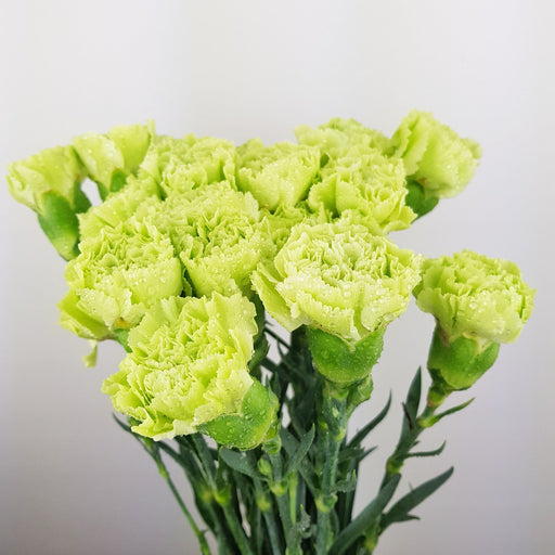 Carnations (Imported) - Green