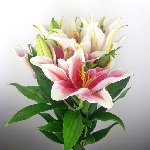 Casa Tiber Lilies (imported) - 2 Tone Pink