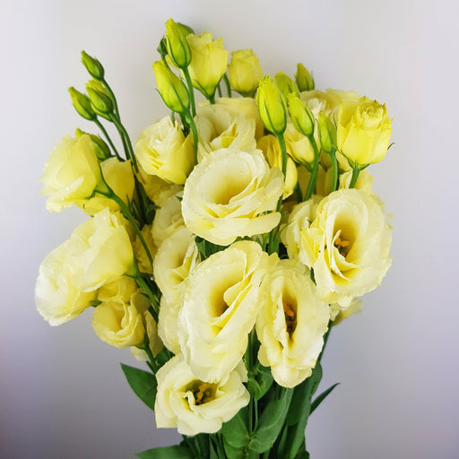 Eustoma (Imported) - Cream