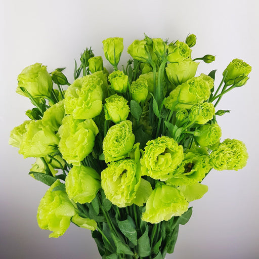 Eustoma (Imported) - Green