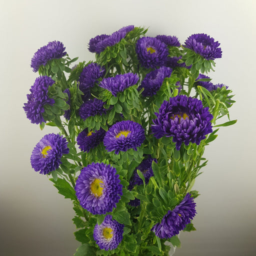 Aster (Local) - Purple