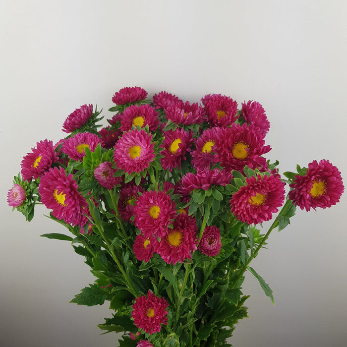 Aster (Local) - Red