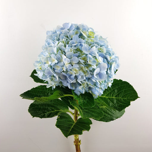 Hydrangea (Local) - Blue