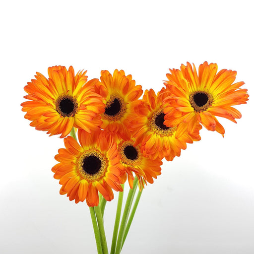 Gerbera (Local) - 2 Tone Orange