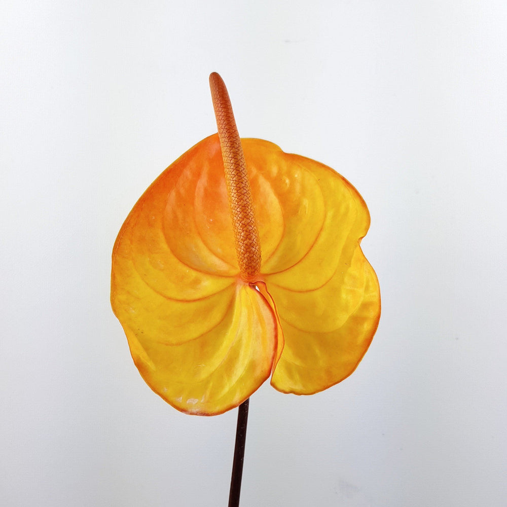 Anthurium (Local) - Gold