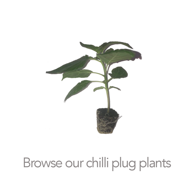 Chilli Plug Plant selection 2019