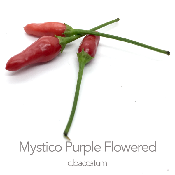 Mystico (Long) Purple Flowered F3 Chilli Seed (c.baccatum)