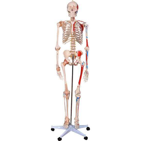 66fit Human Skeleton with Numbered Muscles and Ligaments - 180cm Tall