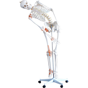 66fit Human Flexible Skeleton with Ligaments- 180cm