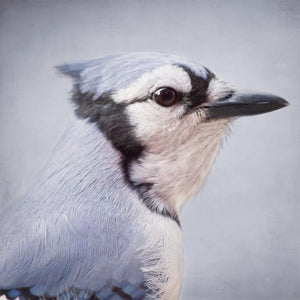 Blue Jay Fine Art Bird Print