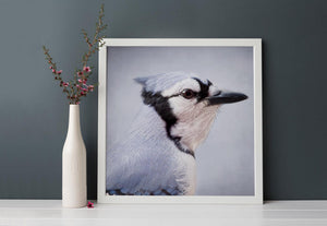 "Bird Portrait, Fine Art Bird Photography Print ""Blue Jay No. 1"""