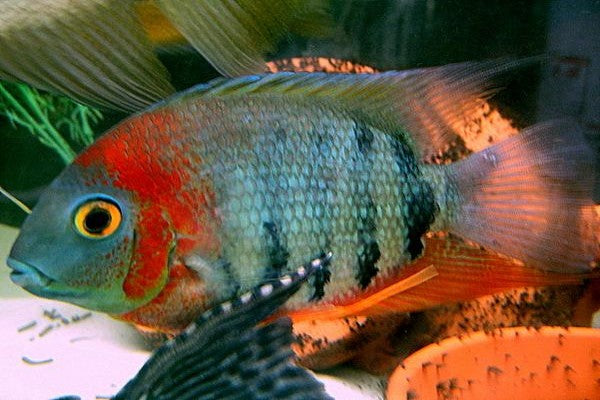 Cichlids: South and Central American