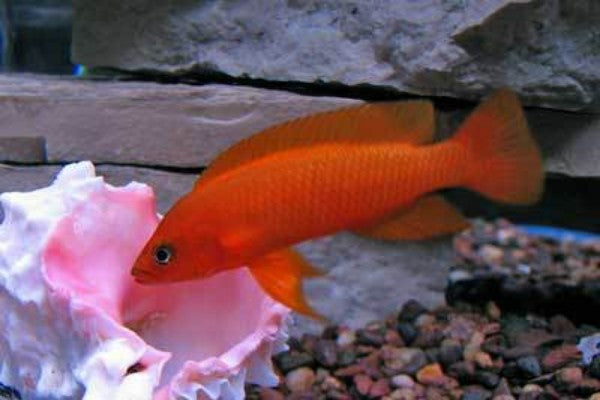 Cichlids: African Lakes and Rivers