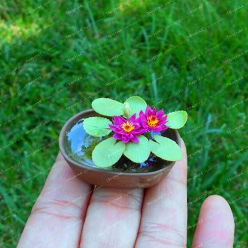 5Pcs Mini Lotus Flower Seeds Rare Chinese Mixed Colors Bonsai Flower Plants Germination Rate Of 95% Bonsai Home Garden Supplies