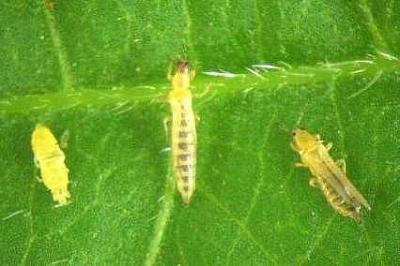 Amblyseius for Thrips