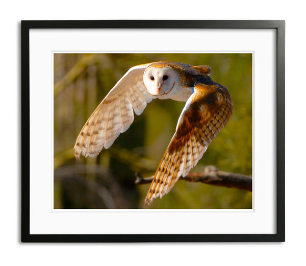 Silent Flight, Barn Owl, Arizona, by Robert Ross