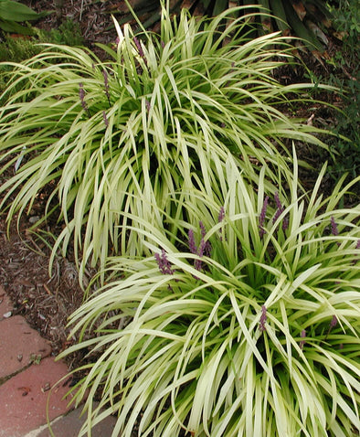 Liriope muscari Pee Dee Ingot Monkey Grass for sale