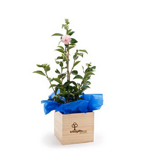 Camellia Tree Gift - Large - Tree Gifts NZ