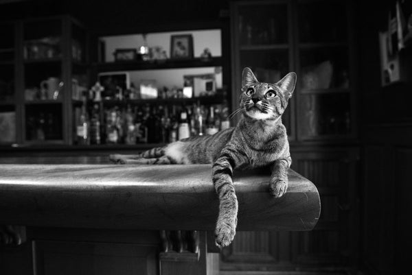 Savannah Cat - Cocktail Hour